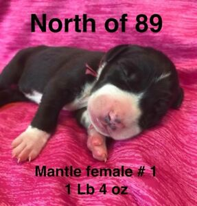 Daniff puppies looking for their for ever home!
