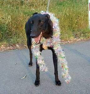 Stunning Black Greyhound free to good home. Plenty Nillumbik Area Preview