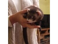 Friendly baby hob ferret