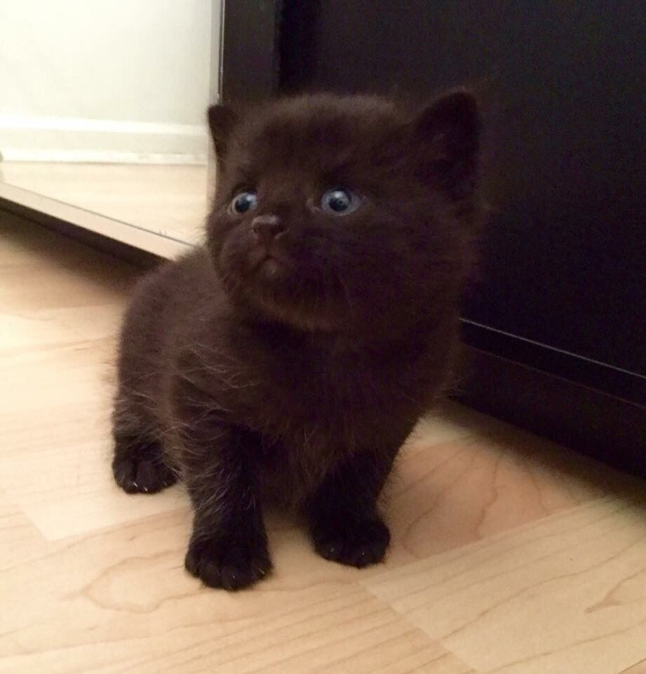 4 gorgeous fluffy kittens for sale in Basildon Es