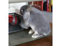 baby blue buck lopped ear rabbit