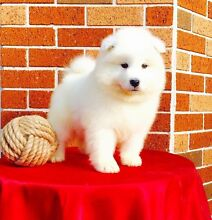 Beautiful Male Samoyed Puppy Kellyville Ridge Blacktown Area Preview