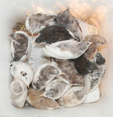 10 Hatching Eggs Tuxedo Button Quail Only Kept In Separate Cages Many Colors