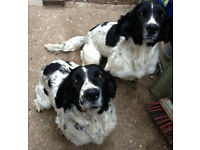 Looking to Re-home two Pedigree female Springer Spaniels