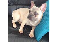 stunning french bulldog