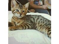 Bengal Boy Kitten 15wks Old