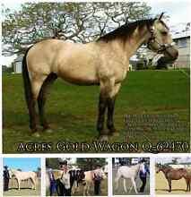 Buckskin AQHA stallion standing at stud. Ipswich City Preview