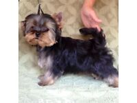 Beautiful extra miniature Yorkshire terrier Girls