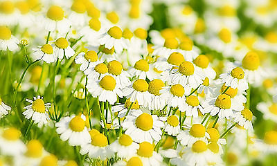 GERMAN CHAMOMILE 510 SEEDS, PRETTY WHITE FLOWERS AND SOOTHING TEA, EZ 2 GROW