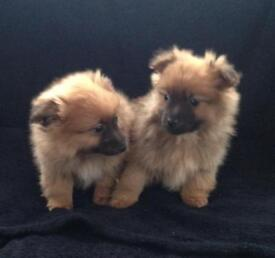 Pomski puppies