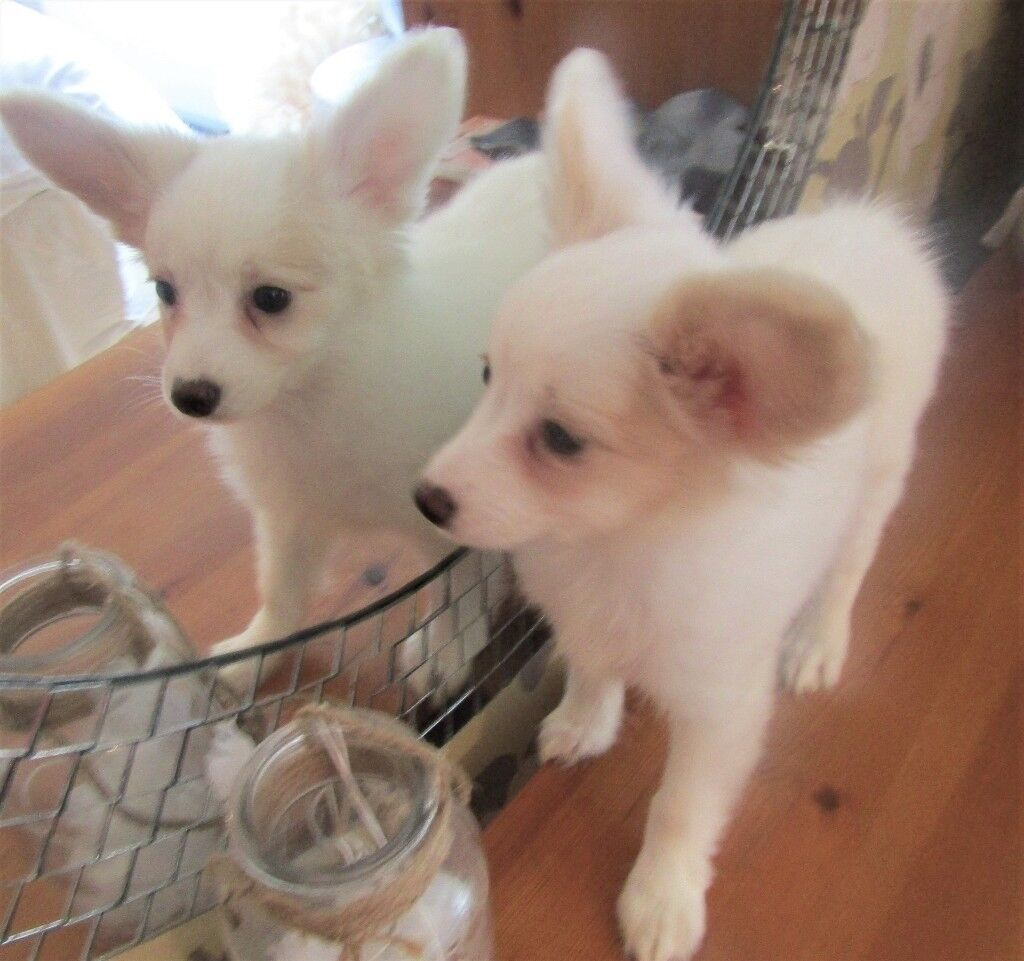 Papillon Puppies For Sale In Neath Port Talbot Gumtree