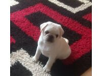 Pug puppy boy white/ cream full kc reg and vaccinated and micro chipped
