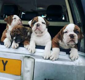Old tyme bulldogs red merle