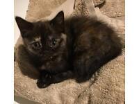 Beautiful Persian kitten girl 9 weeks