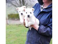 KC Registered West Highland Terrier puppies