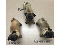 KC Registered Pug Puppies -READY NOW- *3 GIRLS LEFT*