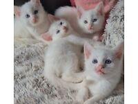 4 Beautiful White Chunky kittens