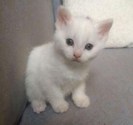 Beautiful fluffy white kittens