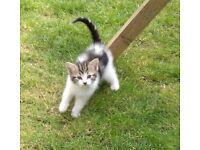 10 week old kitten
