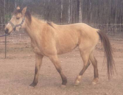 13.2hh buckskin St Arnaud Northern Grampians Preview