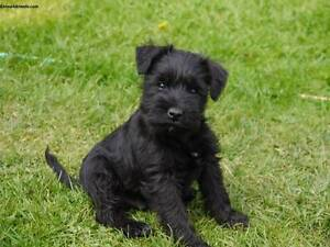 Wanted: Black Miniature Schnauzer or Poodle cross Canada Bay Canada Bay Area Preview