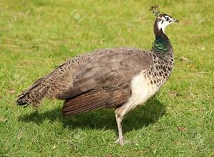 Wanted: Peahen