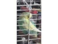 Baby budgie Lost in Lennoxtown