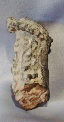 Fossilized Antler Section 68cm x 32cm