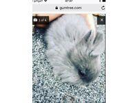 Baby rabbit doe bunny lion head