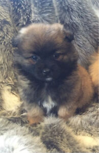 Beautiful Pomeranian Springvale South Greater Dandenong Preview