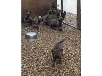 Belgium shepherd puppies for sale
