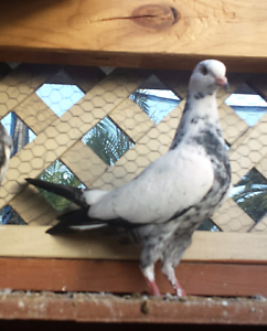 Pigeons for sale Gosnells Gosnells Area Preview