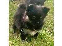 3 tiny Pomeranian x chihuahua