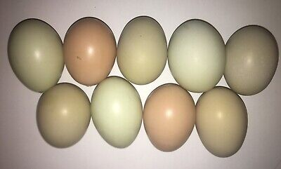 10 Chicken Barnyard Mix Hatching Eggs Fertilized