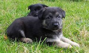 German Shepherd Puppies, Working Lines, Security Guard Dogs Potts Point Inner Sydney Preview