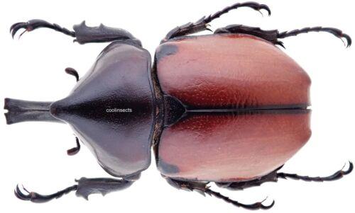 Insect - DYNASTIDAE Mitracephala humboldti - N.Peru - Male 42~45mm ....!!