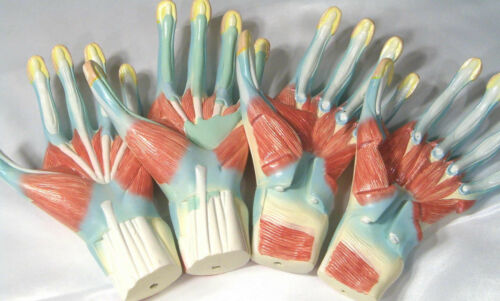 Four hand muscle medical anatomical model dissection human anatomy New