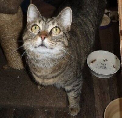 SPONSOR AN OLD CAT - KARMA - SECOND CHANCE  CAT RESCUE KEELBY.
