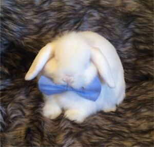 Holland Lop Bunny With Supplies