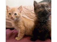 2 Beautiful Female Half Bengal Kittens. £180 EACH