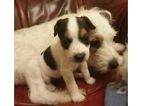 Wired haired jack russel puppies