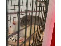 2 male baby rats left