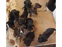 7 Lurcher/Mastiff cross Rhodesian Ridgeback pups for sale (nearly 8 weeks old)