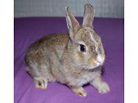 *Netherland dwarf bunnies* 1 Boy For FREE