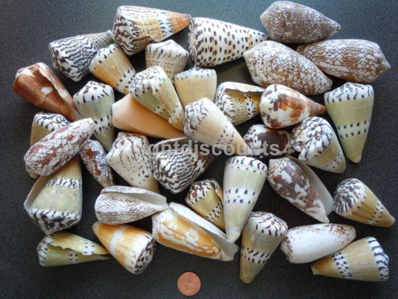 Sea Shells Conus (Approx 18) Nautical Seashell Beach Decoration - Bulk Wholesale