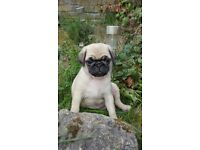 Beautiful KC Registered Pug Puppies