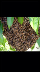 Free Bee swarm or bee hive removal Gold Coast Hollywell Gold Coast North Preview
