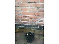 Japanese Maple / Acer Palmatum