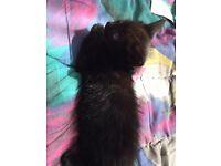 Male black kitten for sale