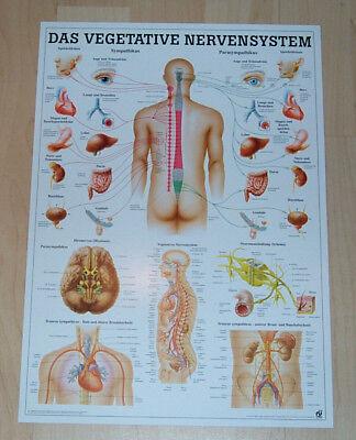 NEU Anatomie Lehr Poster Das vegetative Nervensystem des Menschen